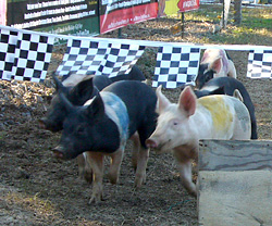 Live Pig Races are exciting fun at Motley's Pumpkin Patch and Christmas Trees, Little Rock, Arkansas-Central Arkansas' Favorite Family Outing